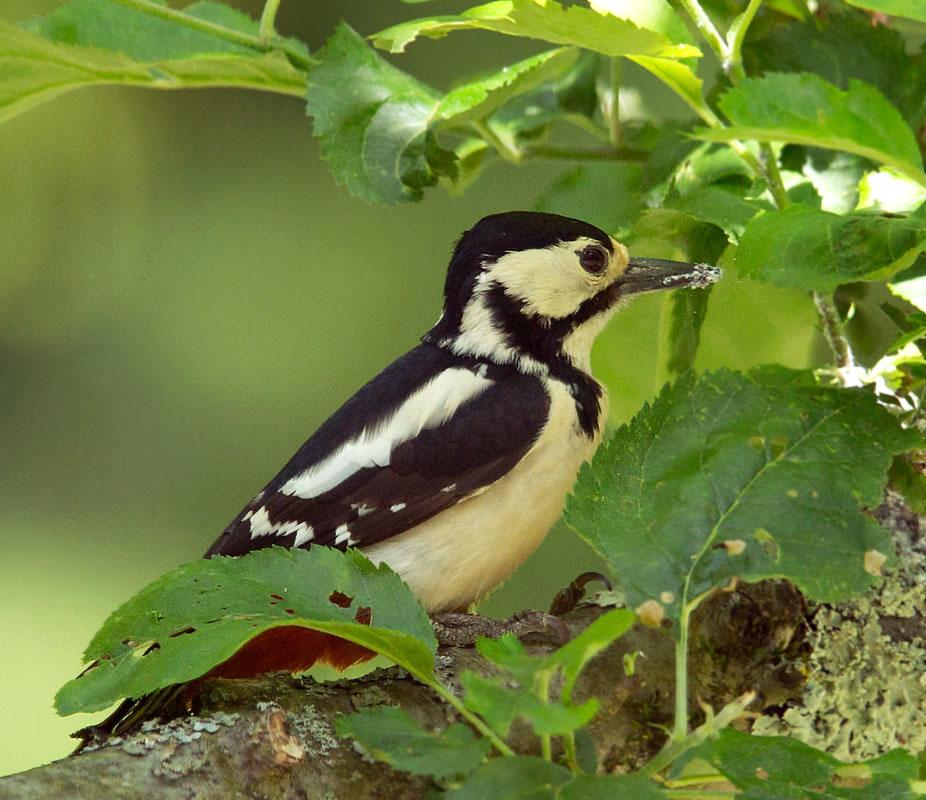 Grote bonte specht -  Great Spotted Woodpecker 9/05/2019.