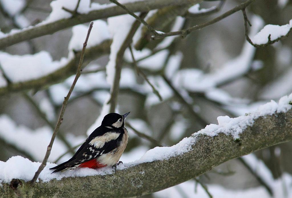 Grote bonte specht, Great Spotted Woodpecker, sneeuw, snow