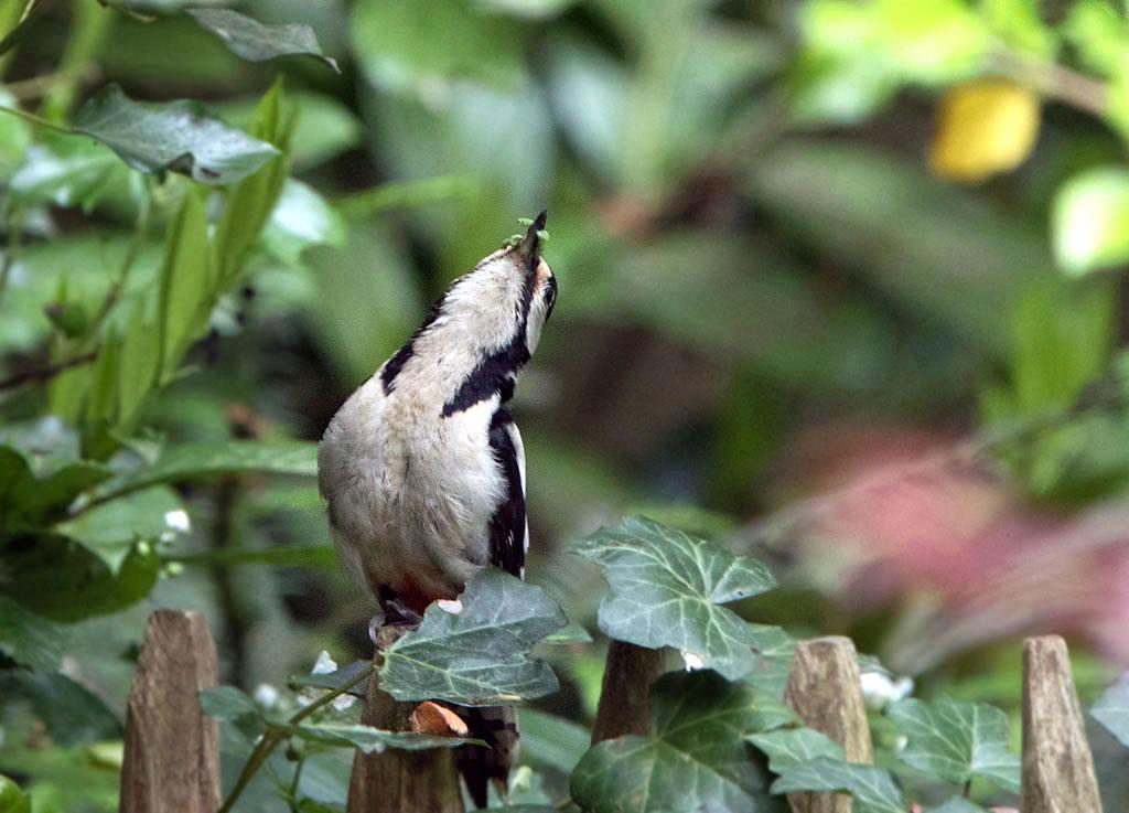 Grote bonte specht  -  Great Spotted Woodpecker 19/05/2017.