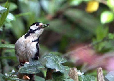 Grote bonte specht, Great Spotted Woodpecker, wormen, worms, azen, feeding