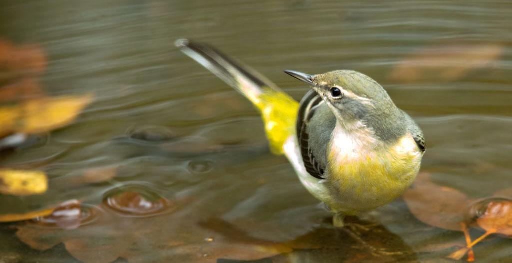 Grote gele kwikstaart - Gray Wagtail