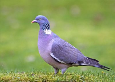 Houtduif - Wood Pigeon 2/02/2014.