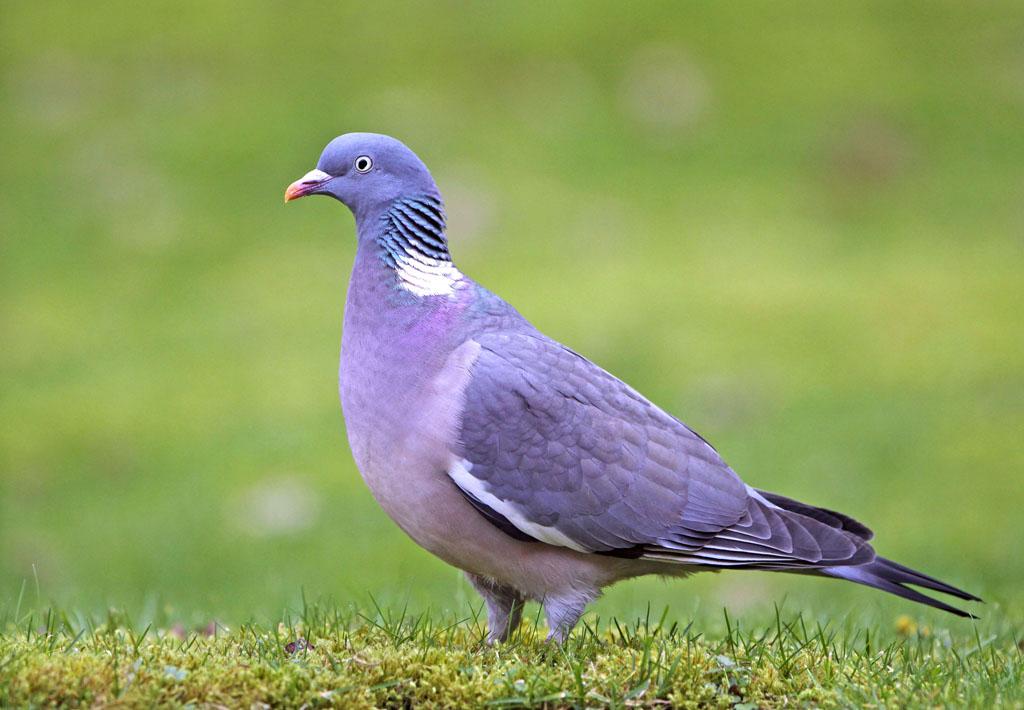 Houtduif - Wood Pigeon.