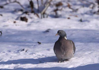 Houtduif - Wood Pigeon 6/02/2012.