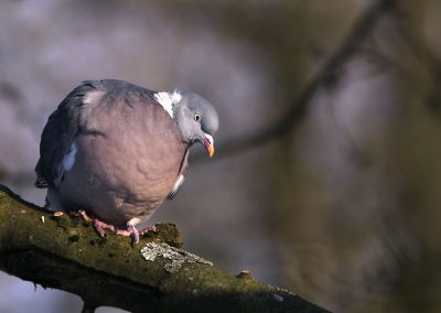 Houtduif - Wood Pigeon 7/02/2012.