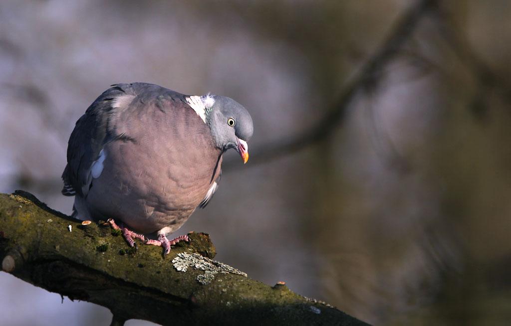 Houtduif, Wood Pigeon.