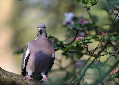 Houtduif - Wood Pigeon 18/04/2011.