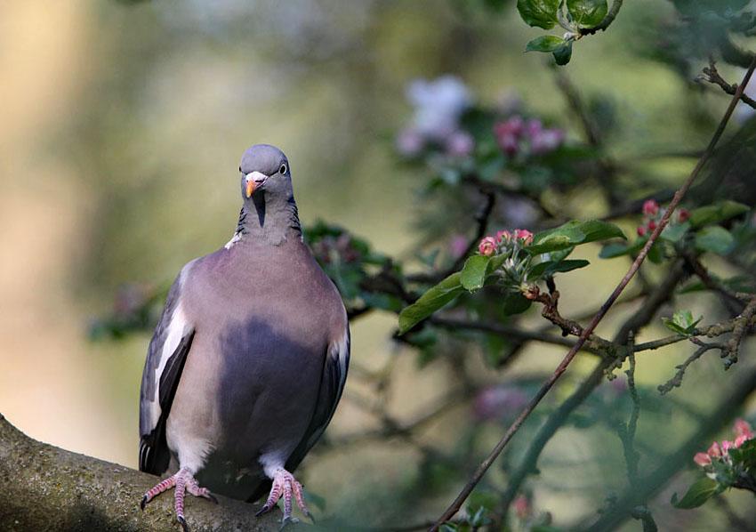 Houtduif, Wood Pigeon, appelaar, apple-tree