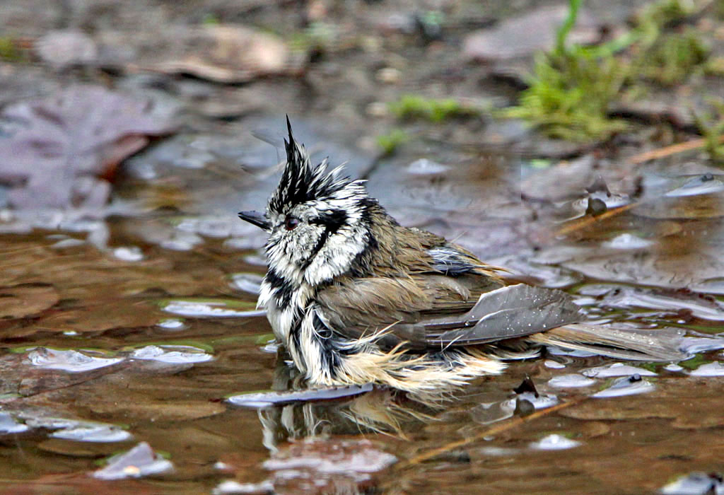 Kuifmees - Crested Tit, baden, bathing