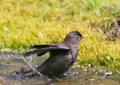 Merel, Blackbird, baden, bathing