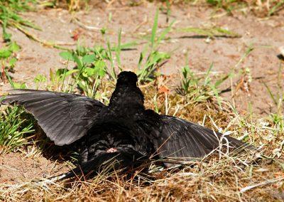 Merel,Blackbird, zonnen, sunbathing, stuitklier, gland