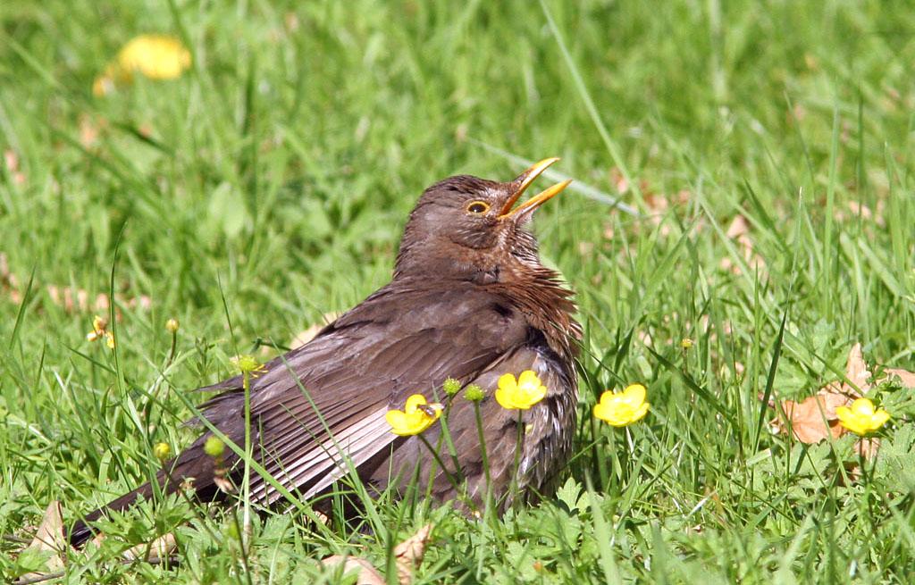 Merel, Blackbird, zonnen, sunbathing