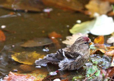 Barmsijs, Lesser Redpoll, baden, bathing