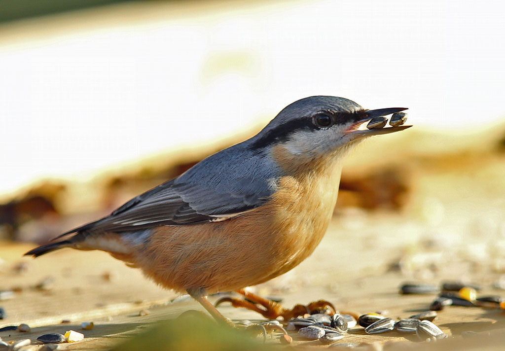 Boomklever, Nuthatch, zonnebloempitten, sunflower seed