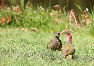 Groene specht, Green Woodpecker, azen, feeding