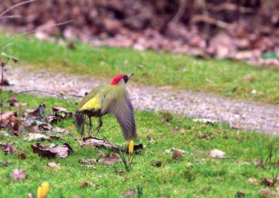 Groene specht, Green Woodpecker, vliegen, flying