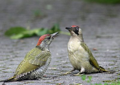 Groene specht, Green Woodpecker, azen feeding