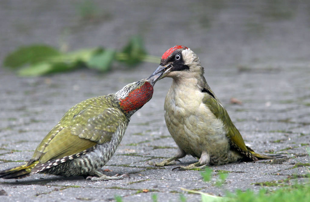Groene specht -  Green Woodpecker 27/06/2007.