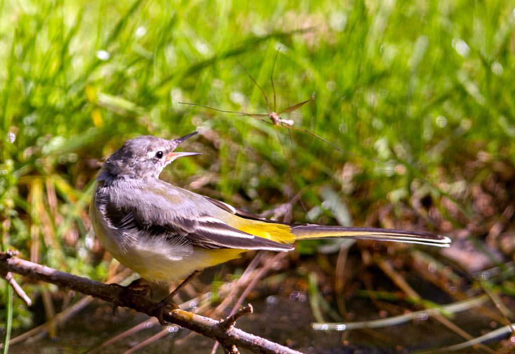 Grote gele kwikstaart, Langpootmug, Grey Wagtail, Crane fly