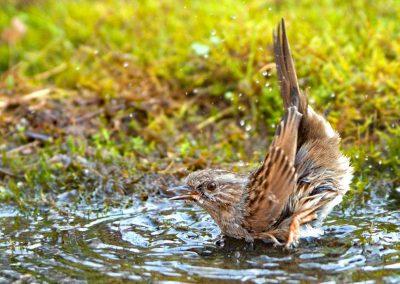 Heggenmus, Dunnock, baden, bathing