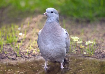 Holenduif - Stock Dove 17/05/2018. Met ring.