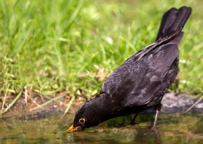 Merel, Blackbird, drinken, drinking