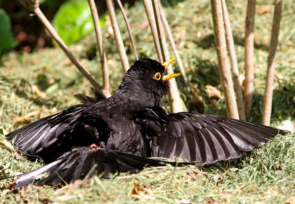 Merel, Blackbird, zonnen, sunbathing, stuitklier, gland