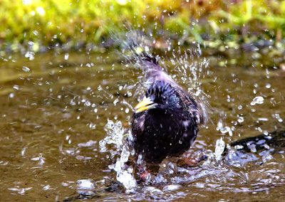 Spreeuw, Starling, baden, bathing