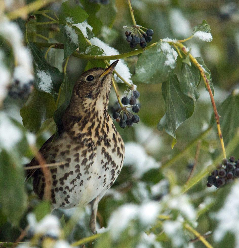 Zanglijster, Song Thrush, klimop, ivy, sneeuw, snow
