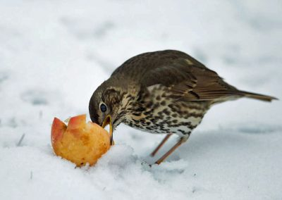 Zanglijster - Song Thrush appel, apple