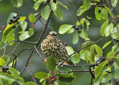 Zanglijster - Song Thrush vuilboombessen, buckthorn berries