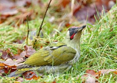Groene specht, Green Woodpecker, gras, grass