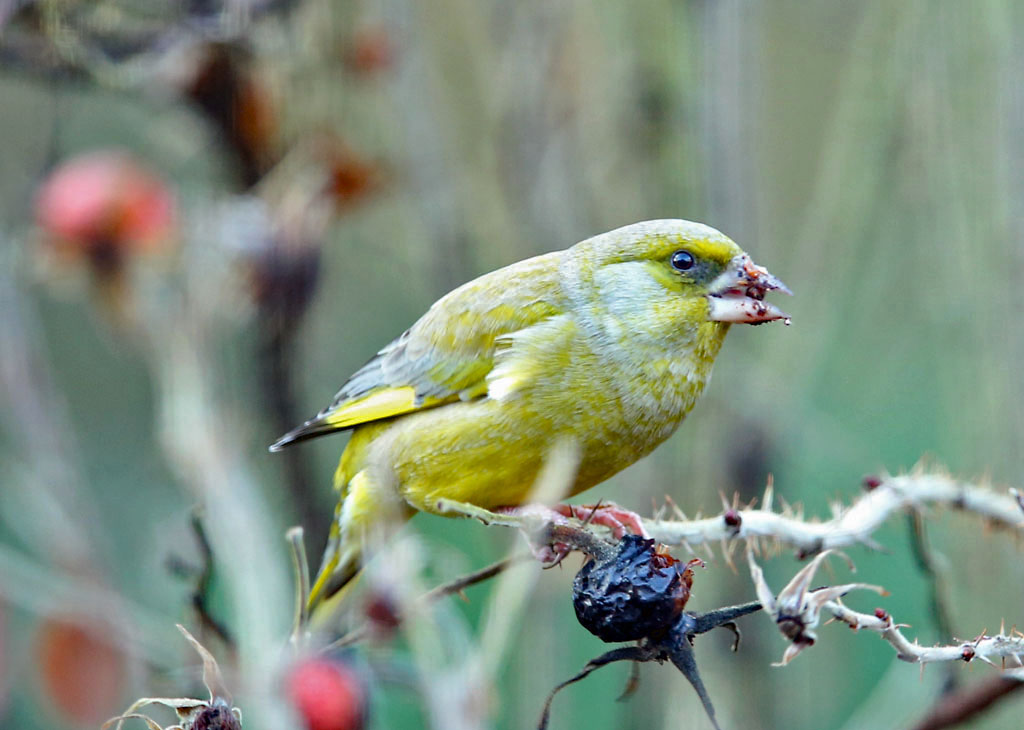 Groenling -  Greenfinch 18/12/2019