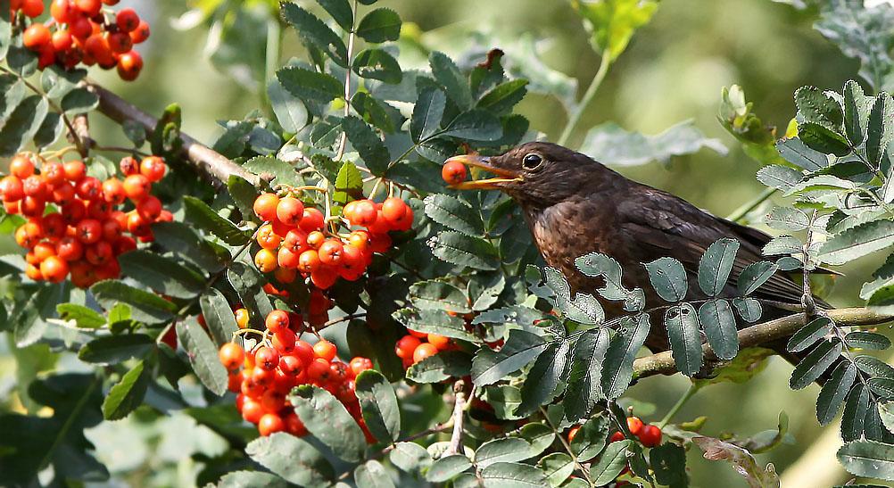 Merel, Blackbird, lijsterbes, rowanberry
