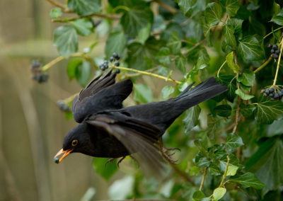 Merel, Blackbird, klimop, ivy