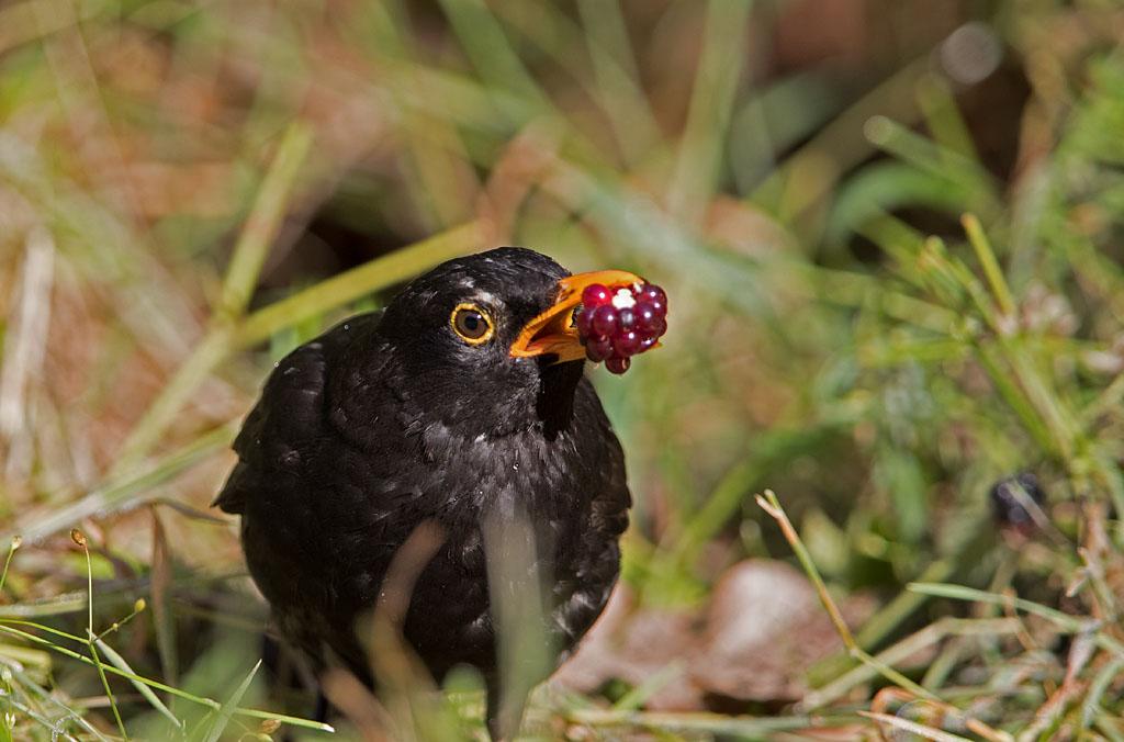 Merel, Blackbird, braambes, blackberry