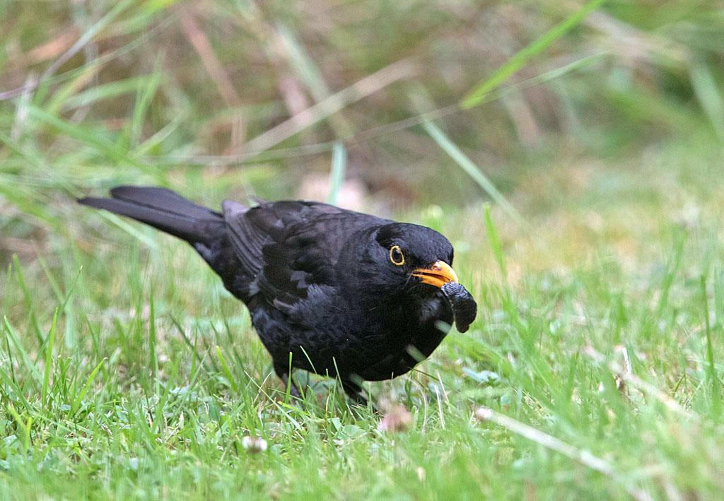 Merel, Blackbird, naaktslak, slug