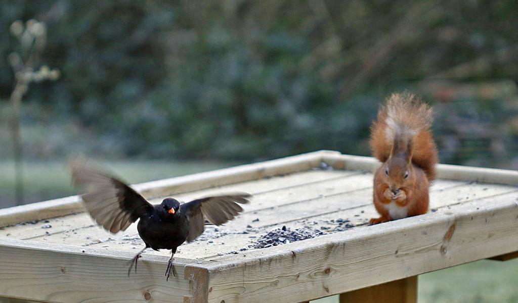 Merel, Blackbird, feeding table, eekhoorn, spuirrel