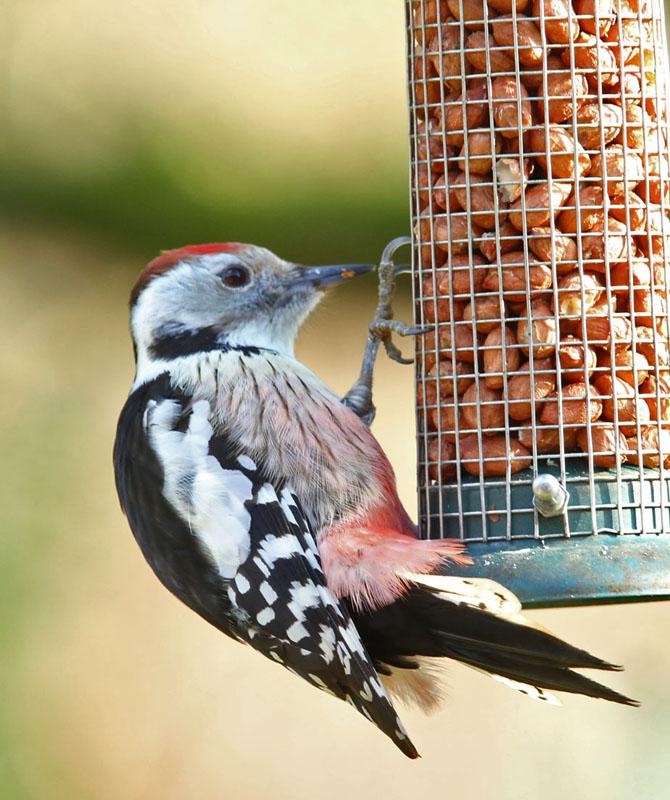 Middelste bonte specht, Middle Spotted Woodpecker, pinda's, peanuts