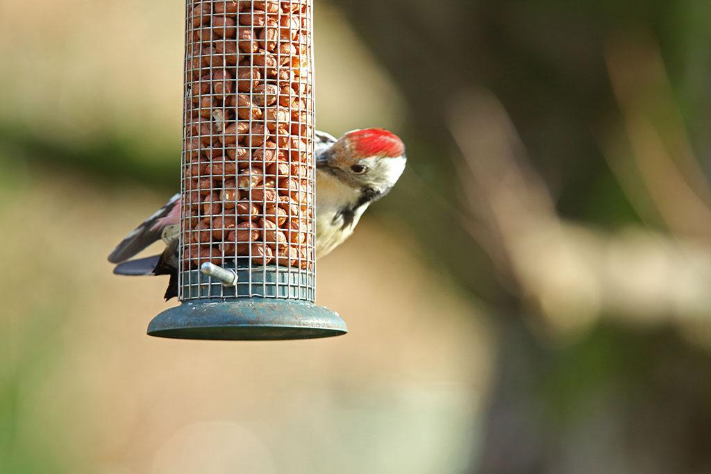 Middelste bonte specht, Middle Spotted Woodpecker, pinda's, peannuts