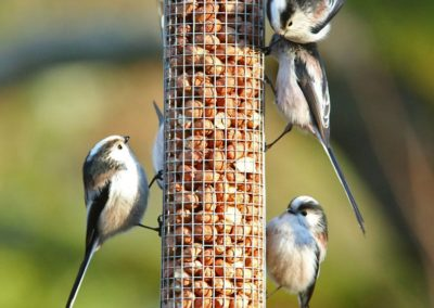 Staartmees, Long-tailed Tit, pinda's, peanuts