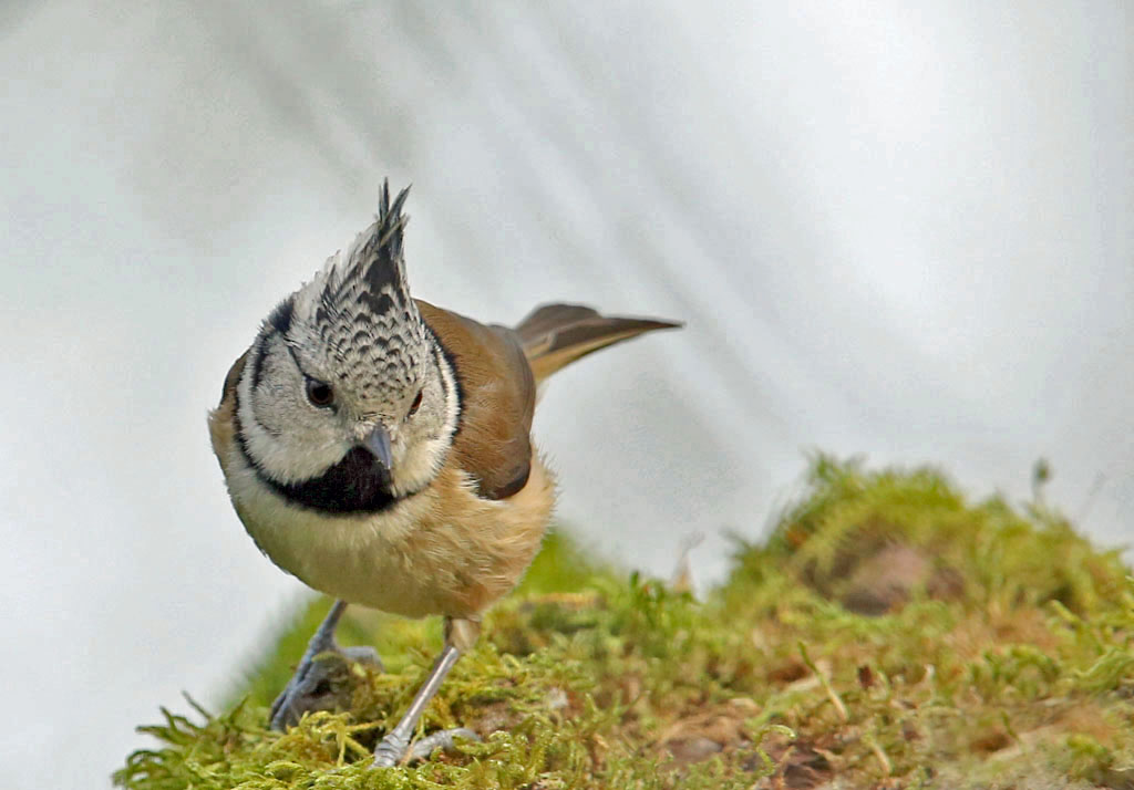 Kuifmees, Crested Tit