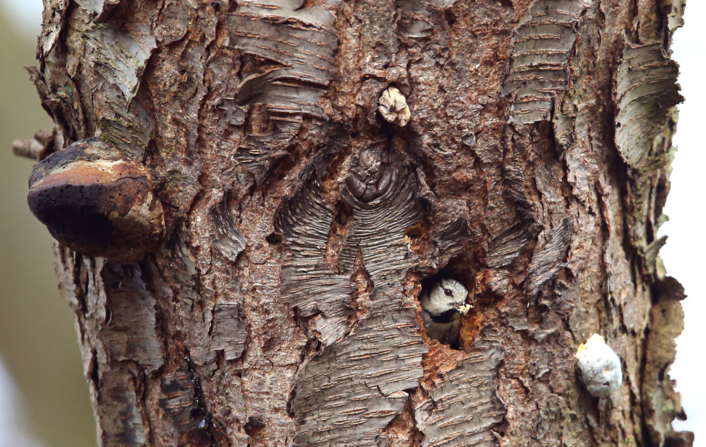 Kuifmees, Crested Tit, nesting, nestelen