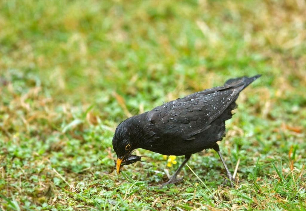 Merel, Blackbird, veenmol, mole cricket