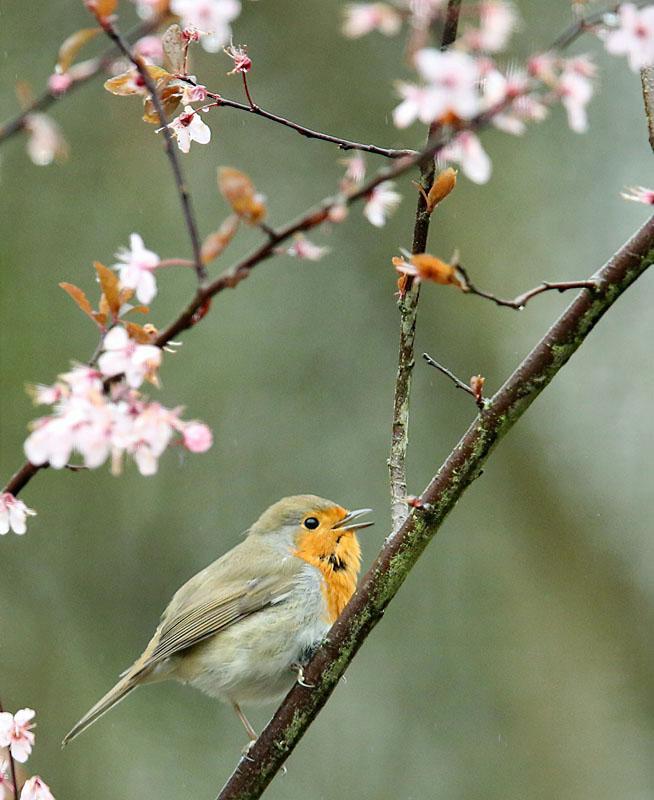 Roodborst, Robin, prunus nigra