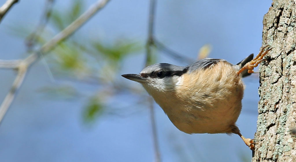 Boomklever, Nuthatch