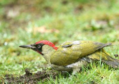 Groene specht, Green woodpecker, foraging