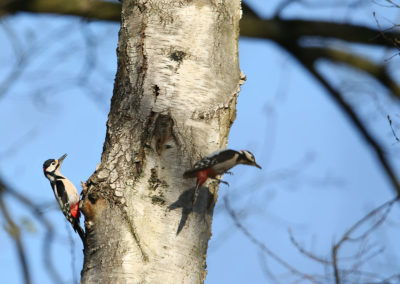 Grote bonte specht, Great Spotted Woodpecker, balts, courting