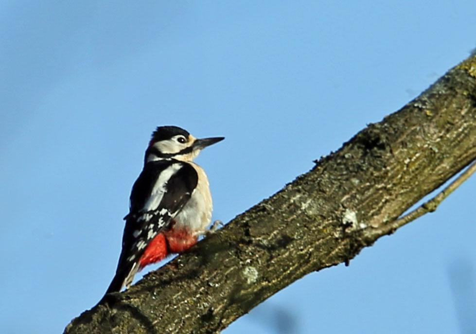 Grote bonte specht, Great Spotted Woodpecker