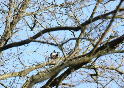 Grote bonte specht, Great Spotted Woodpecker, mating, paren, copuleren